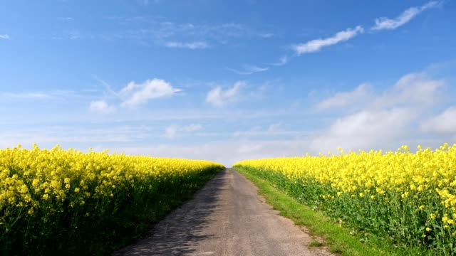 countryroad leads through flowering rape fields, miltenberg, spessart, franconia, bavaria, germany - 散歩道点の映像素材/bロール