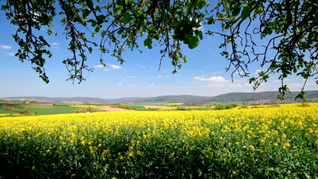 countryside with blooming rape field in spring, miltenberg, franconia, bavaria, germany - yellow stock videos & royalty-free footage