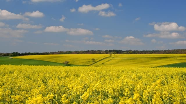 countryside with blooming rape fields in spring, miltenberg, franconia, bavaria, germany - oilseed rape stock videos & royalty-free footage