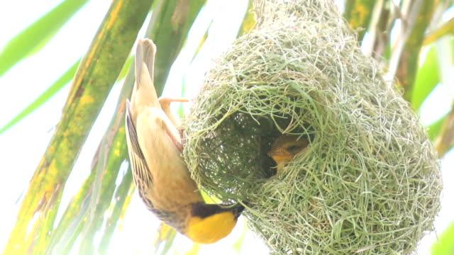 hd: couple bird build nest on tree - animal nest stock videos and b-roll footage