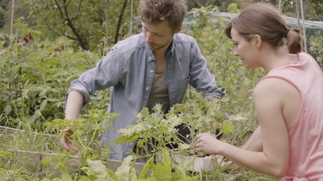 couple discussing planting kale plants in allotment. - gemeinschaftsgarten stock-videos und b-roll-filmmaterial