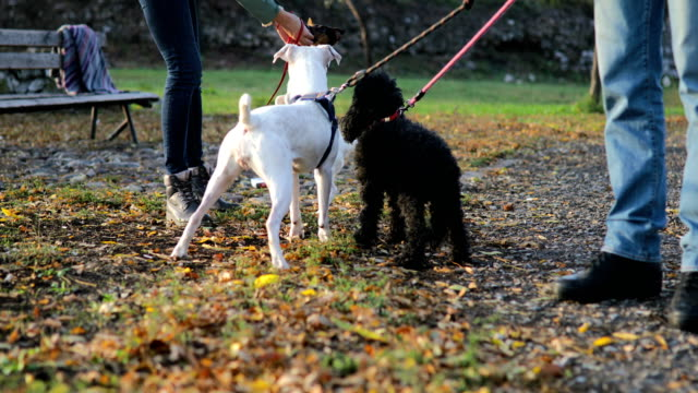 couple feeding dogs in public park at autumn sunset - group of animals stock videos & royalty-free footage