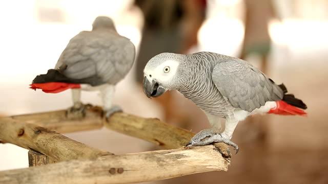 Zwei afrikanische graue Papageien stand auf Holz