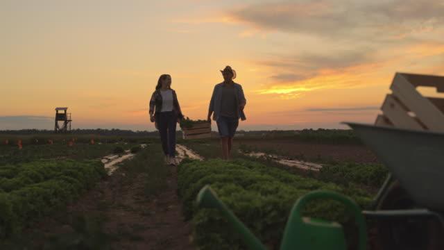 vidéos et rushes de slo mo couples récoltant des légumes frais dans le champ au coucher du soleil - fraîcheur