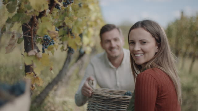 couple harvesting red grape together - red grape stock videos & royalty-free footage