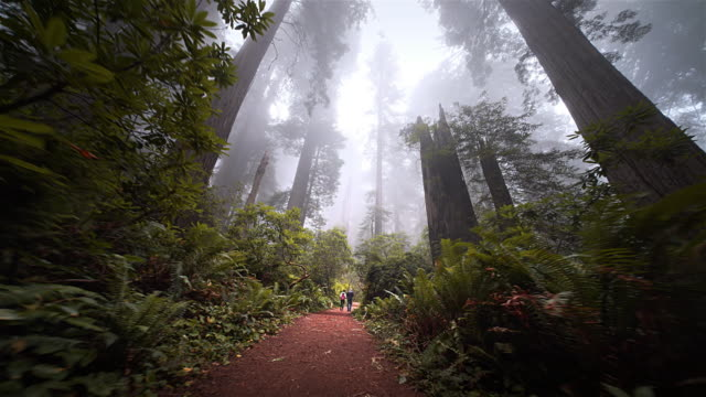 Couple hiking down trail in redwood forest, Redwood National Park, California