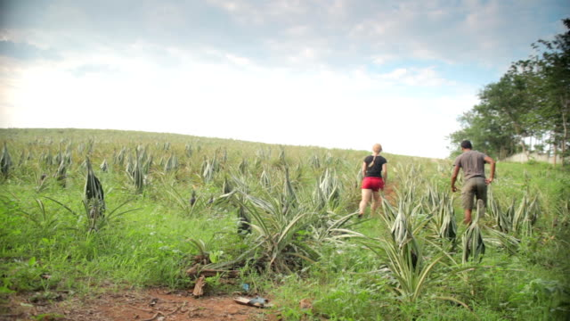 couple holiday thailand walking through pineapple field - pineapple stock videos & royalty-free footage