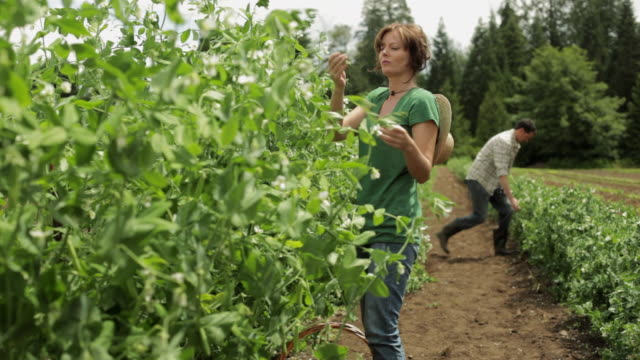Couple in field on farm, woman smelling and tasting peas