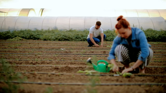 couple in the field planting vegetables - organic stock videos & royalty-free footage