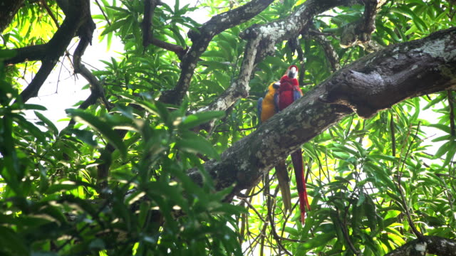 couple macaw parrot resting on the treetop - two animals stock videos and b-roll footage
