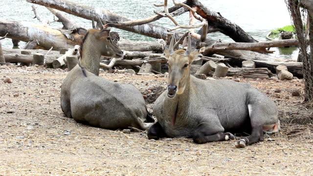 Couple of antelope