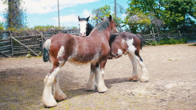 A couple of Clydesdale Horses on a Canadian farm