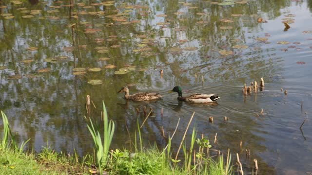 couple of ducks in mating season swimming on lake to the shore - two animals stock videos & royalty-free footage
