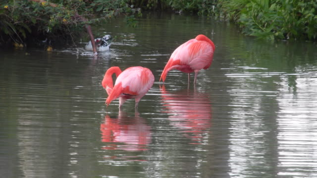 couple of flamingo birds in the water. beauty in nature while birdwatching in the mayajigua lake, sancti spiritus, cuba - eco tourism video stock e b–roll