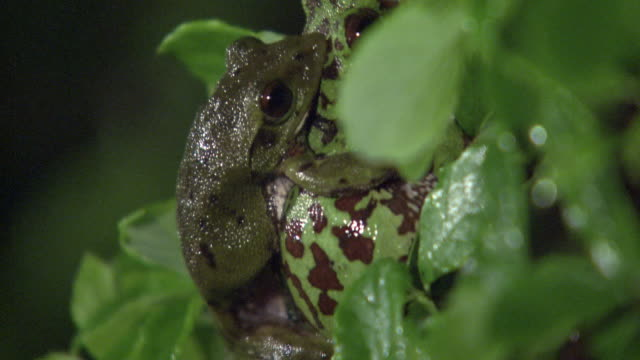 a couple of forest green tree frogs laying eggs - pair stock videos and b-roll footage
