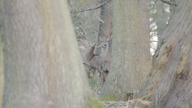 a couple of gray deer standing between the tree trunks in the forest and looking directly to the camera in england, london.- medium shot - medium group of animals点の映像素材/bロール