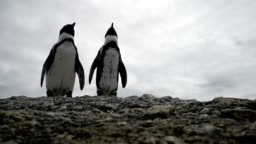 Couple of Jackass penguins relaxing on a rock HD Video