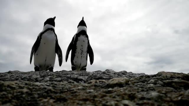 ロックhdビデオでリラックスジャッカスペンギンのカップル - ケープ半島点の映像素材/bロール