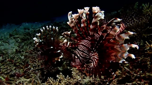 a couple of lionfish - lionfish stock videos & royalty-free footage