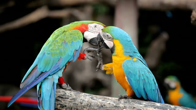couple of macaw parrots in nature - kissing stock videos & royalty-free footage