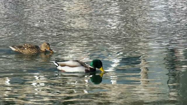 マガモのアヒル (アナス・ platyrhynchos) のカップルが一緒に潜ると泳ぐ - 鳥 カモ点の映像素材/bロール