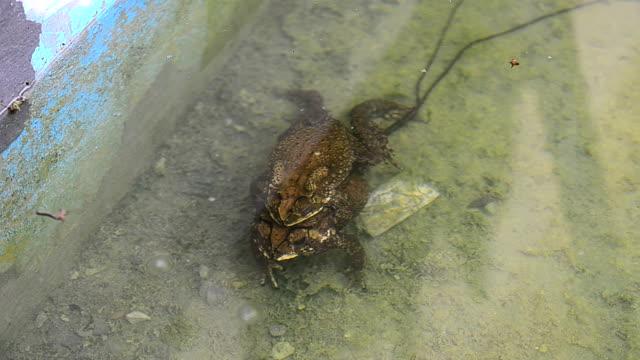 vídeos de stock, filmes e b-roll de casal de o acasalamento toads - zoologia