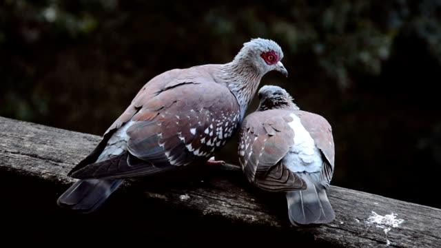 Paar Tauben