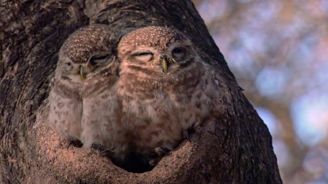 vídeos y material grabado en eventos de stock de couple of spotted owl resting in tree hole - front view - camouflage