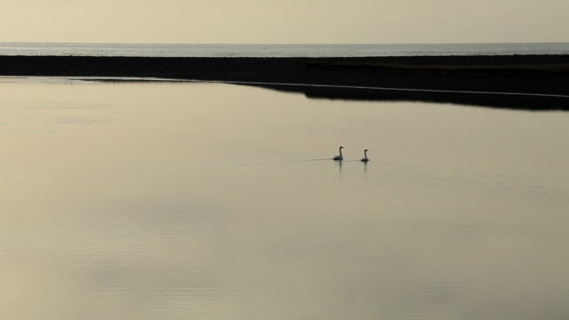 ms couple of swan swim on calm lagoon at sunset / iceland  - lagoon stock videos & royalty-free footage