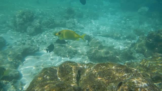 couple of yellow coral rabbitfish (siganus corallinus) and  blue tang fish (acanthurus leucosternon) - seeratte stock-videos und b-roll-filmmaterial