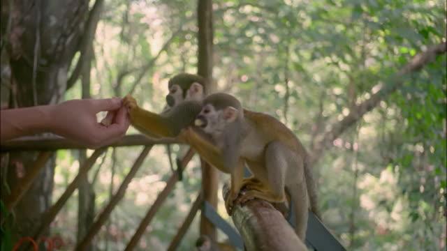 Couple on balcony feeding monkeys in the Amazon / Brazil