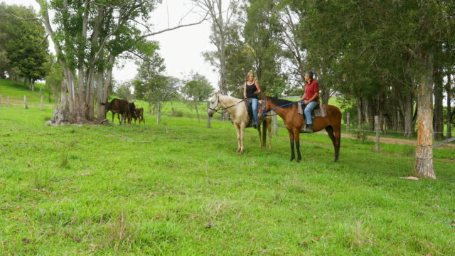 couple on horses herding grass fed cattle on a farm - grass fed stock videos & royalty-free footage