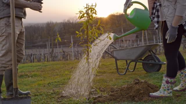 ms paar pflanzung und bewässerung obstbaum auf ländlichen hügeln bei sonnenuntergang - obstbaum stock-videos und b-roll-filmmaterial