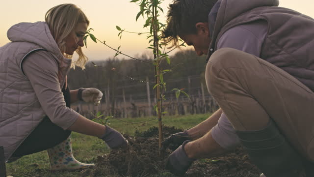 vidéos et rushes de couples de ms plantant l'arbre de fruit sur la colline rurale - arbre