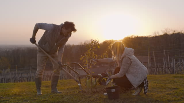 vídeos y material grabado en eventos de stock de ws couple plantando árbol frutal en la ladera rural soleada e idílica al atardecer - excavar