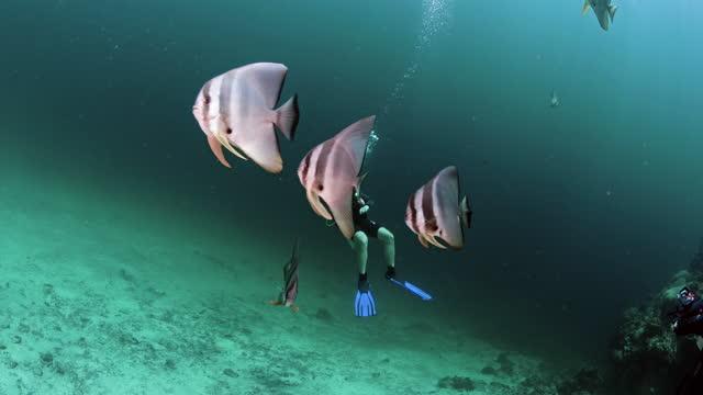 vídeos y material grabado en eventos de stock de couple scuba diving with spadefish thailand - rodear