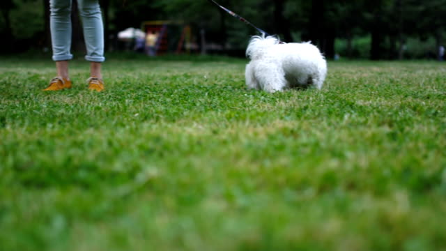 couple walking a matese dog - maltese dog stock videos and b-roll footage