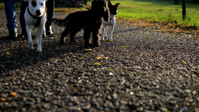couple walking with three dogs in autumn park - group of animals stock videos & royalty-free footage