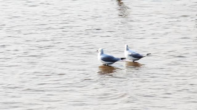 Couples of seagull bird on water