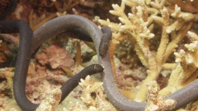 vidéos et rushes de courtship of three turtle-headed sea snakes. - dom tom