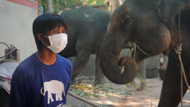 covid 19 has hit thailand tourism and many domesticated elephants could be left starving around 1thousand domesticated elephants in thailand could be... - phuket stock videos & royalty-free footage