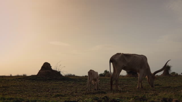 vidéos et rushes de cow and calf eating grass of meadow under the sun / sudd swamps, south sudan, africa - plaque de montage fixe