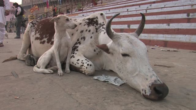 cu, cow and dog resting on sidewalk, varanasi, uttar pradesh, india - two animals stock videos & royalty-free footage