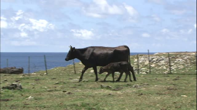 A cow and her calf cross a coastal pasture on Yonaguni Island, Okinawa.