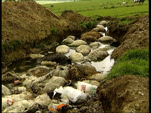 cow and sheep pits itn lib bodies of sheep dumped in pit for disposal tilt up bodies of cattle laying in open pit cs body of cow in flooded pit tilt... - animal body part点の映像素材/bロール
