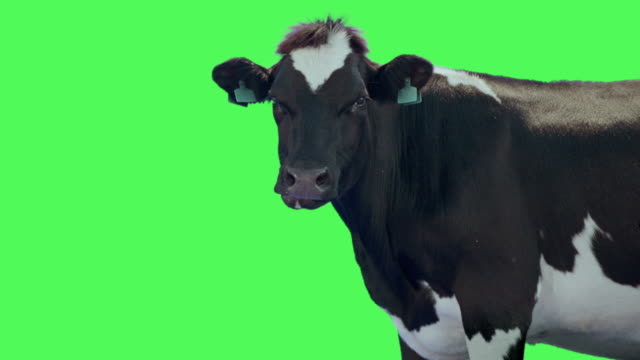 cow animal on green screen - domestic cattle stock videos & royalty-free footage