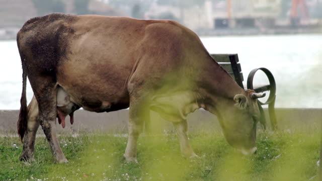 HD: Kuh im öffentlichen park