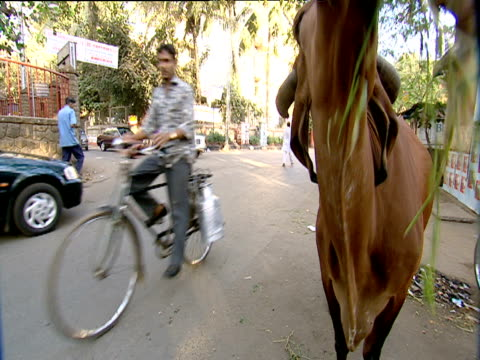 cow being fed grass beside busy street mumbai - grass fed stock videos & royalty-free footage