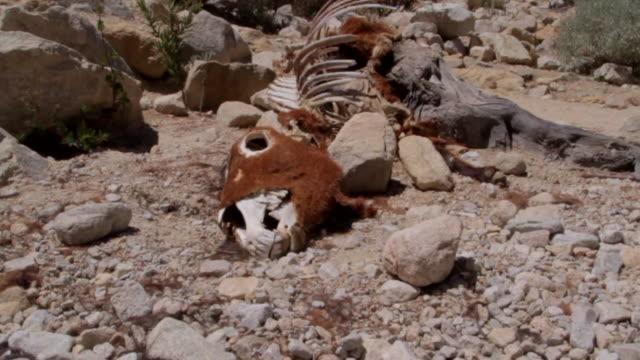 cow carcass desert - tierisches skelett stock-videos und b-roll-filmmaterial