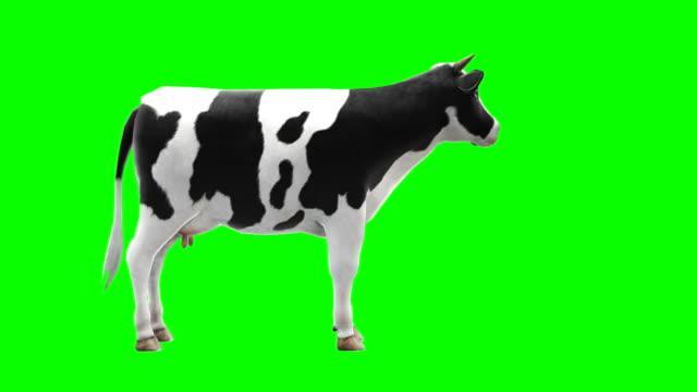 vidéos et rushes de vache à mâcher écran vert (boucle) - vache